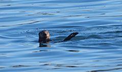 Seeotter im Hafen von Monterey