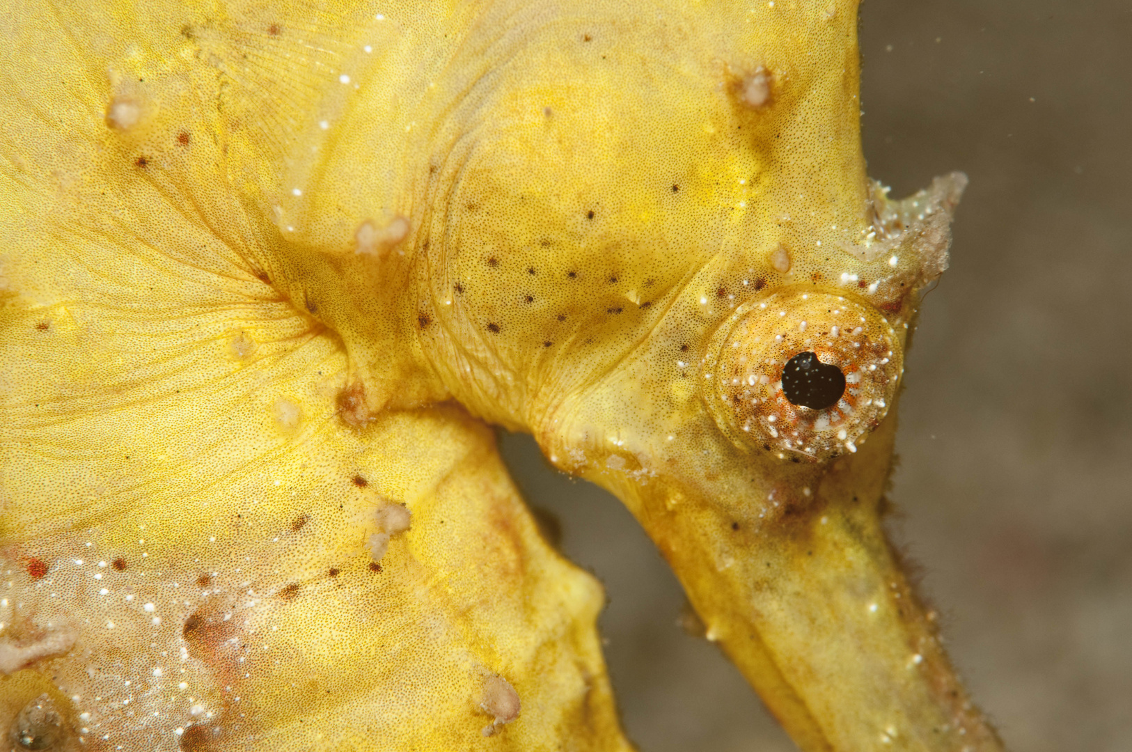 Seepferd Makro Unterwasser