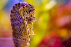 Seepferdchen