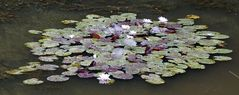 Seerose im Herbst