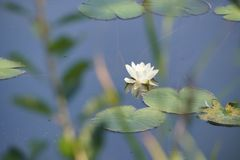 Seerose im Naturschutzgebiet Weissenau CH
