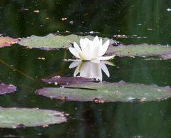 Seerose im Naturschutzgebiet Weissenau_2