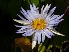 Seerose in lila
