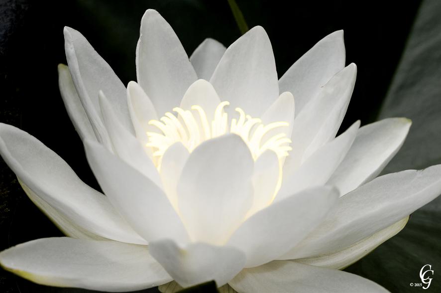 Seerose leuchtend