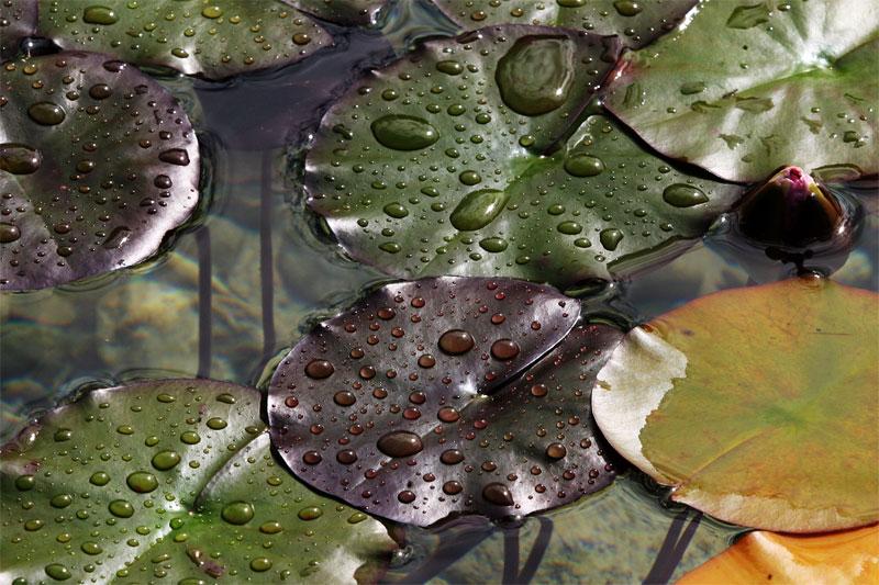 Seerose... oder Herbst... oder Tränen