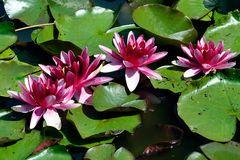 Seerosen - eine der schönsten Blumen im Sommer