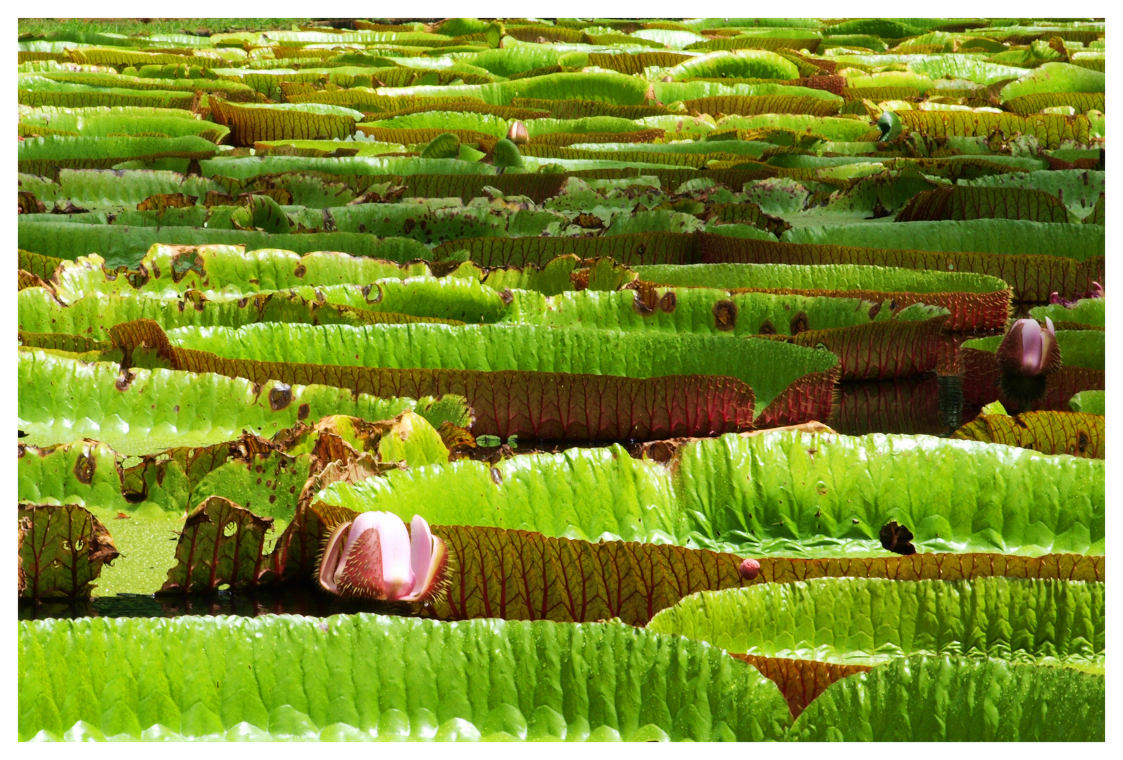 seerosen im botanischen garten von pamplemousses mauritius foto bild pflanzen pilze. Black Bedroom Furniture Sets. Home Design Ideas