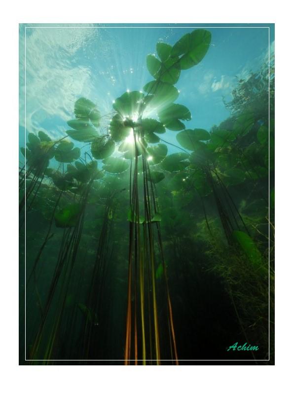 Seerosen im Licht
