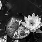 Seerosen mal schwarz-weiß 1