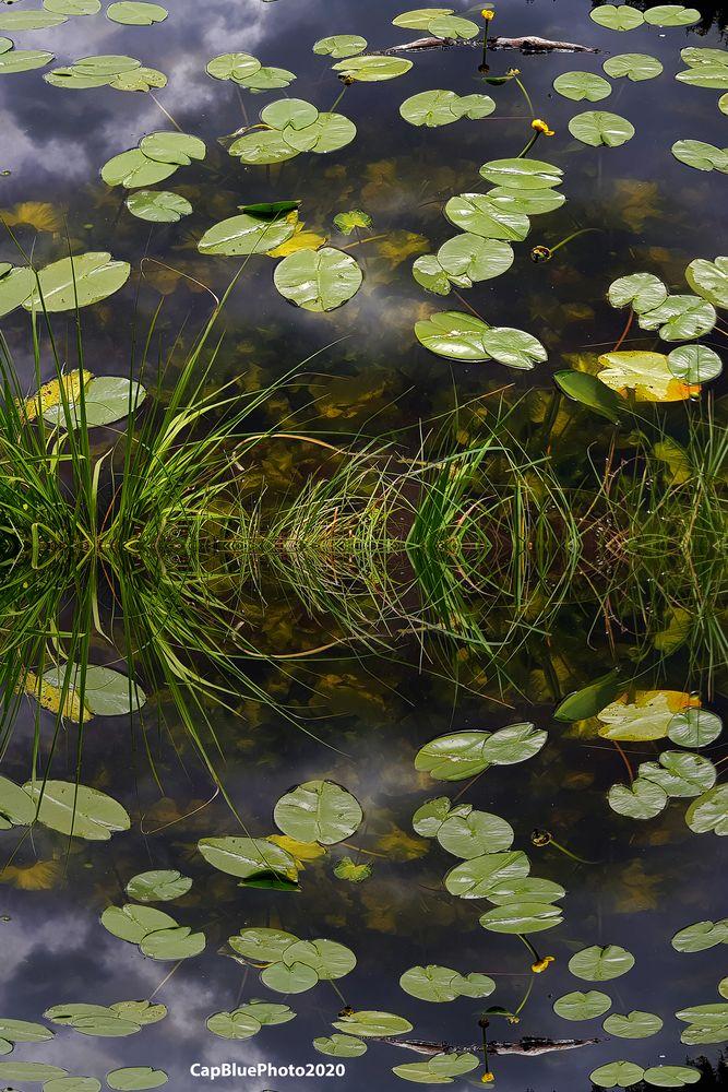 Seerosenblätter auf dem Huzenbachsee bei Baiersbronn