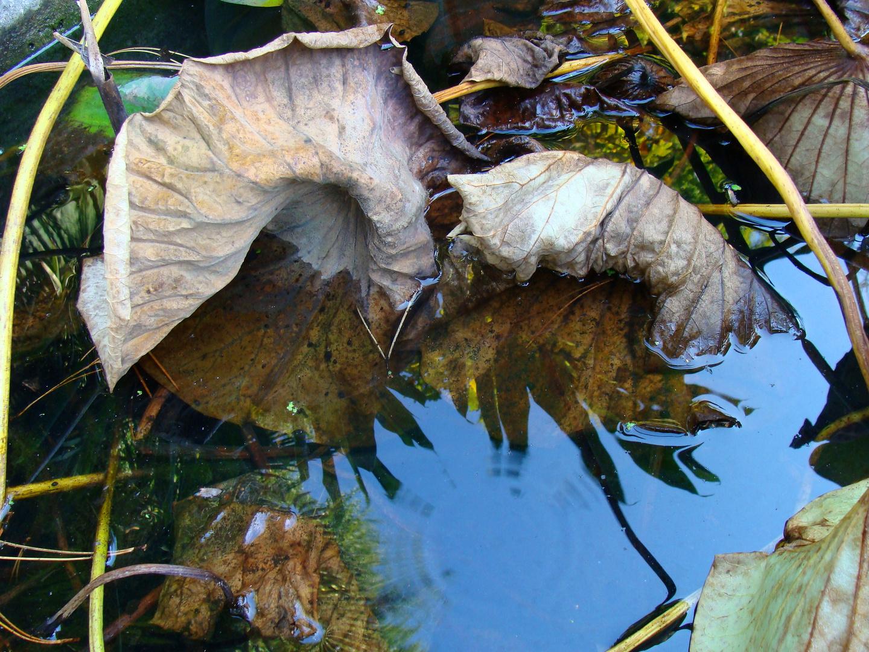 Seerosenblätter im Herbst