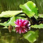 Seerosenblüte im Spiegel der Jahreszeit