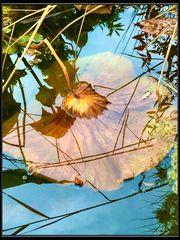 Seerosenteich im Herbst