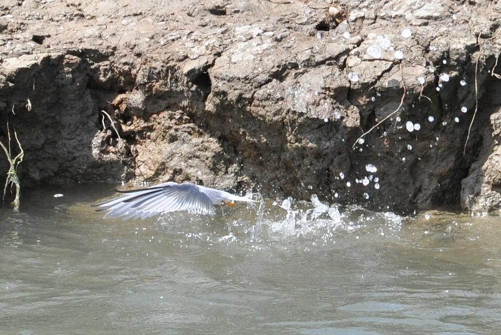 Seeschwalbe