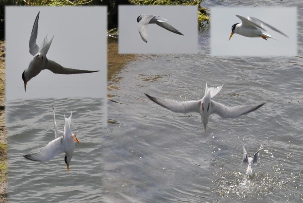Seeschwalbe im Sturzflug