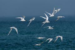 Seeschwalben an der Nordsee_7673