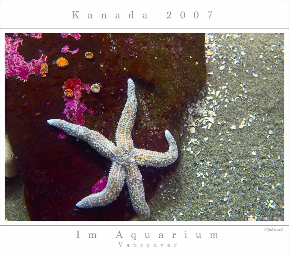 Seestern im Aquarium von Vancouver