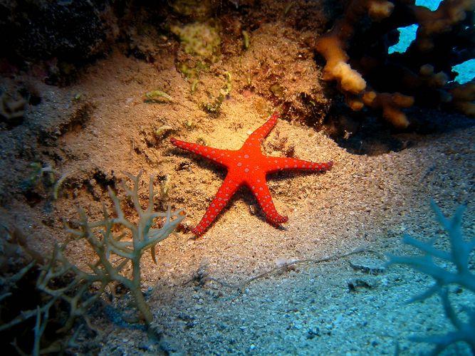 Seestern im Roten Meer Foto & Bild   unterwasser, uw