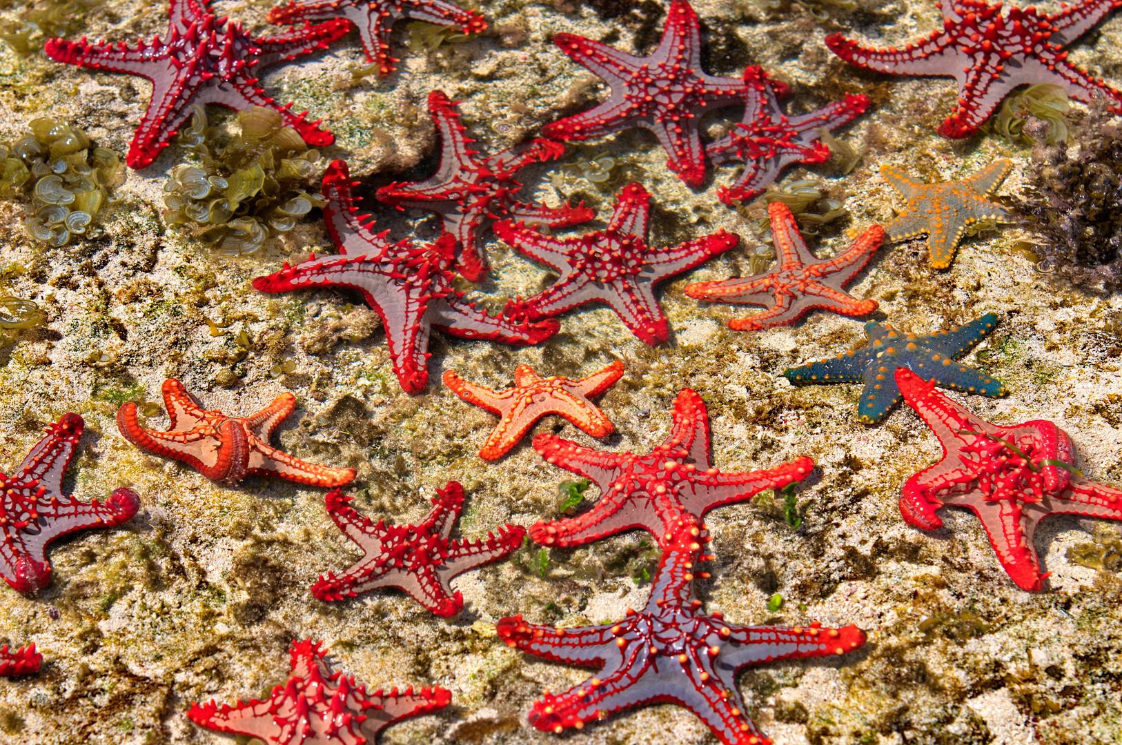 Seesterne im Meer von Diani Beach Foto & Bild   africa
