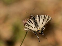 Segelfalter (Iphiclides podalirius) Provence 09.06.2018
