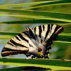 Segelfalter (Iphiclides podalirius), Scarce swallowtail, Podalirio