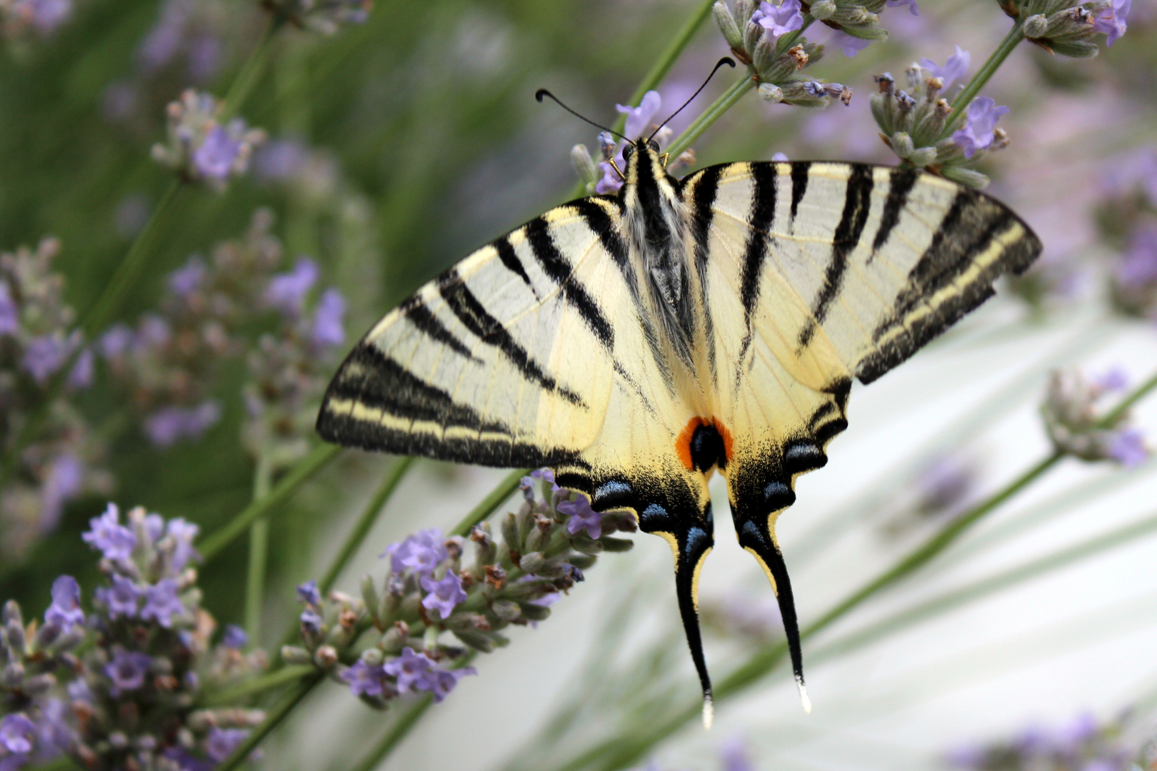 Segelfalter, liebt Lavendel