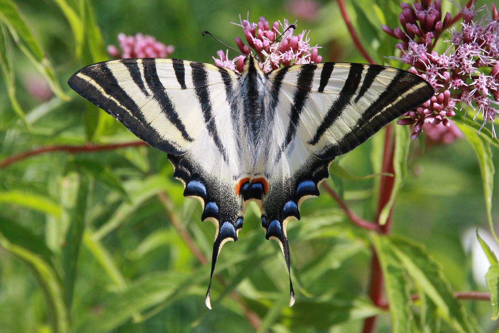 Segelfalter oder Scarce Swallowtail (Iphiclides podalirius)
