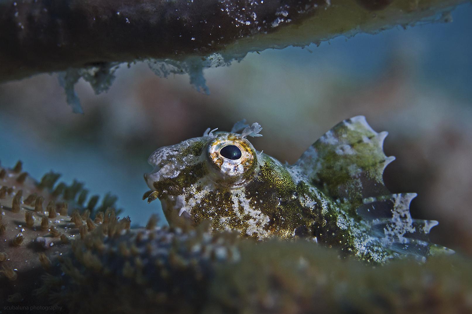 Segelflossen-Säbelzahnschleimfisch