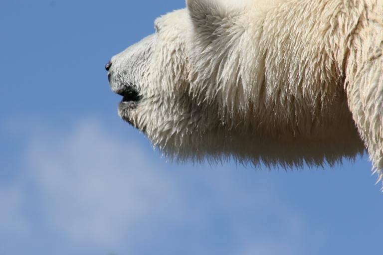 Sehnsucht eines Eisbären