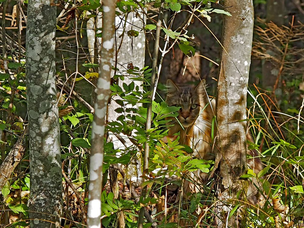 Sehr grosse Wildkatze (Felis silvestris) im Wald! - Un grand chat sauvage dans notre forêt!