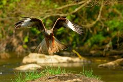 Sehr vorsichtig nähert sich der Rotmilan im Tiefstflug seiner Beute