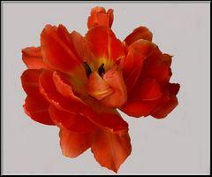 Seht Ihr das Lächeln der Tulpe
