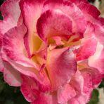 seid lieb gegrüßt von mir mit dieser Rose