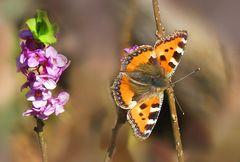 Seidelbast und erster Schmetterling