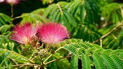 Seidenbaum Ombrella Schlafbaum