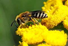 Seidenbiene (Colletes sp.)