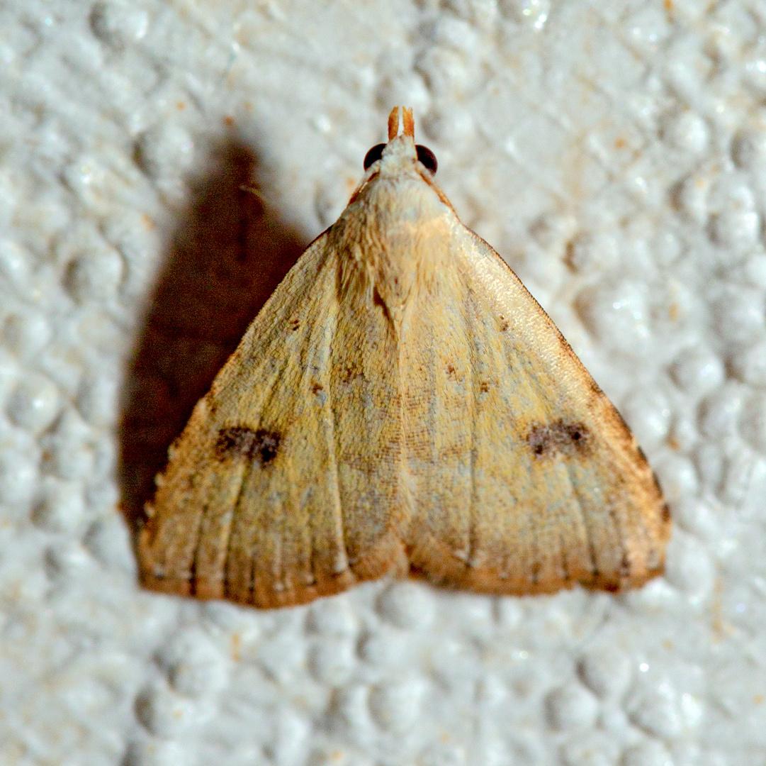 Seideneulchen (Rivula sericealis).