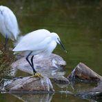 Seidenreiher, (Egretta garzetta), Little egret, Garceta común