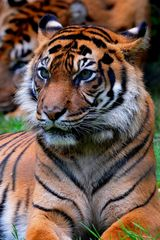 Seigneur Tigre