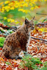 Sein Fell macht ihn im Herbstwald fast unsichtbar