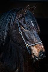Seine Majestät König der Pferde