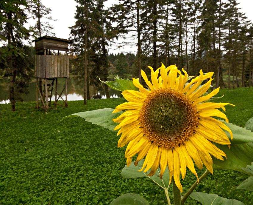 Selbst bei Regenwetter strahlt die Sonnenblume!