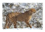 Selbst bei Tiefschnee wagt sich der Gepard ins Freie.