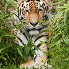Selbst der Tiger....