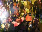 Selbstdarstellung herbstlicher Blätter im Gegenlicht