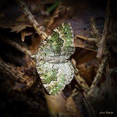 Selten - Olivgrüner Bergwald-Blattspanner