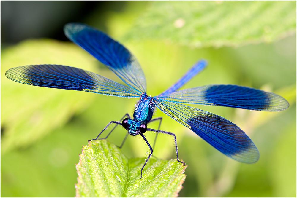 Selten sieht man die gebänderte Prachtlibelle mit dieser Flügelstellung