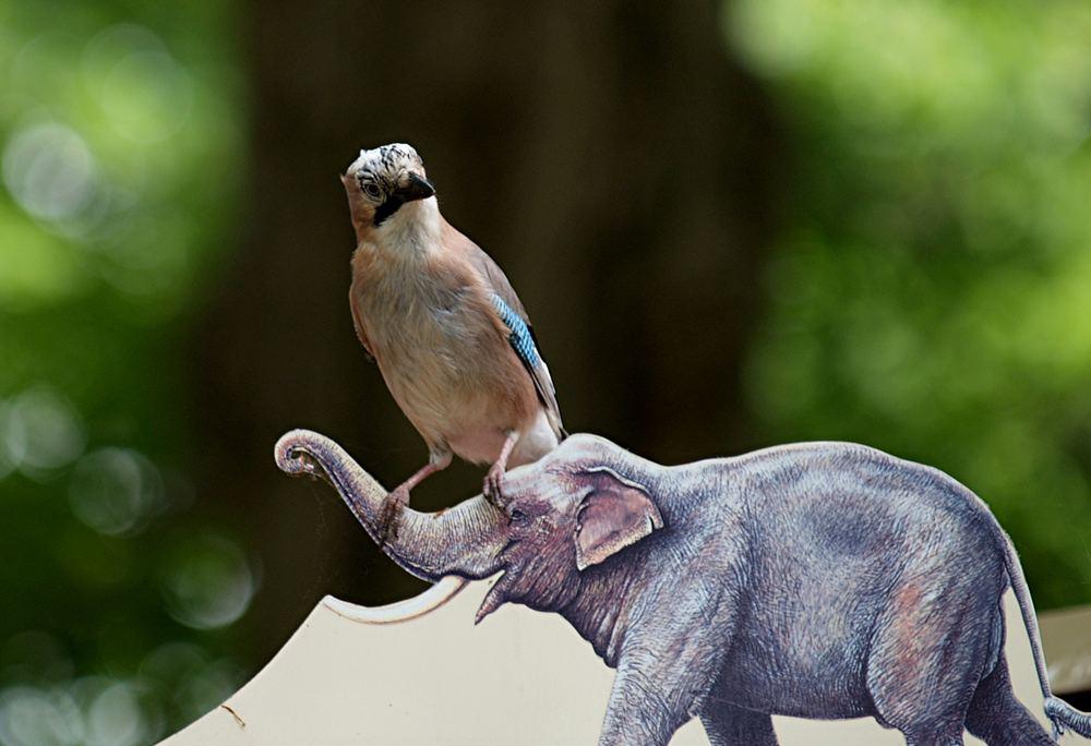 Selten zu sehen: Eichelhäher auf Elefant...