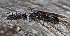 Seltene Haarige Holzameise mit Königin (Camponotus vagus). - La fourmi et la reine!