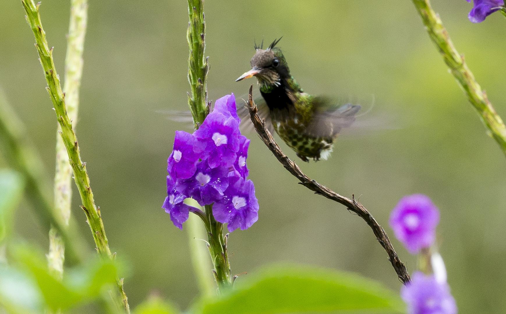 Seltene Kolibriart Costa Rica